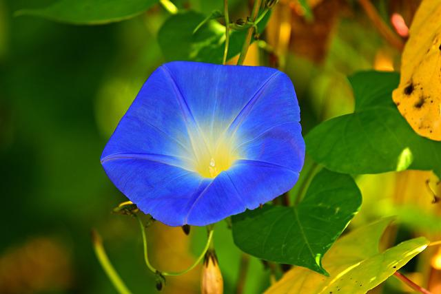 Morning Glory, Flower, Plant, Blue, Lead, Foliage