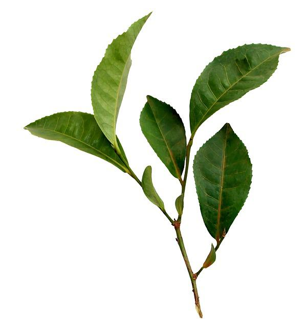 Tea, Leaf, Plant, Nature, Sprig, Foliage