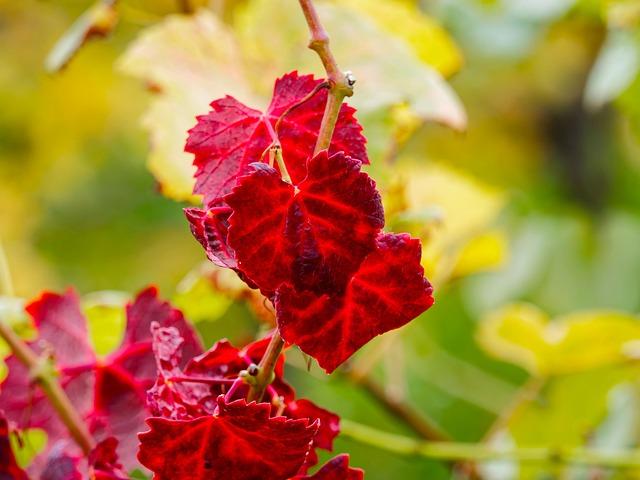 Leaves, Vines, Fall, Autumn Leaves, Foliage, Vineyards
