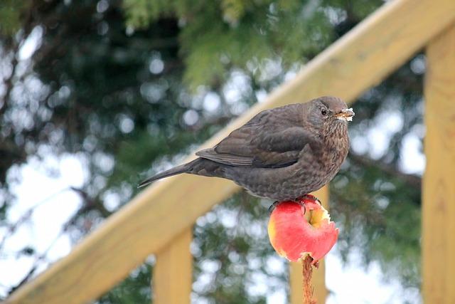 Blackbird, Blackbird Female, Food, Apple, Winter, Bird