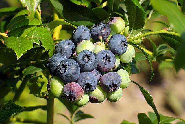 Bilberry American, Fruit, Berries, Food, Spray, Garden