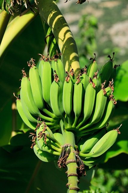 Bananas, Branch, Bunch, Food, Fresh, Fruit, Green