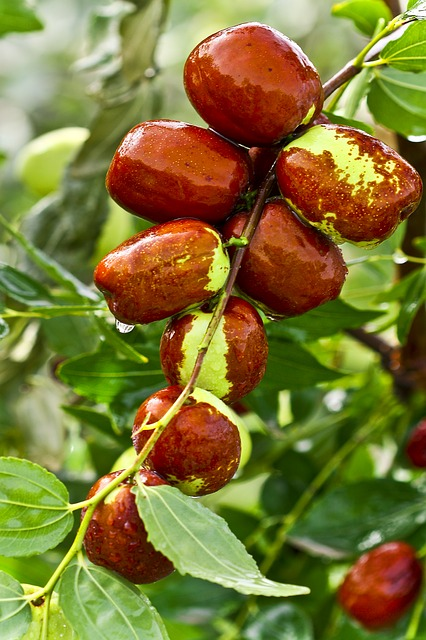 Jujube, Food, Fruit Jujube, Date Tree, Health, Eating