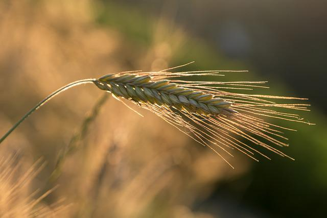 Barley, Ear, Cereals, Grain, Nature, Barley Field, Food