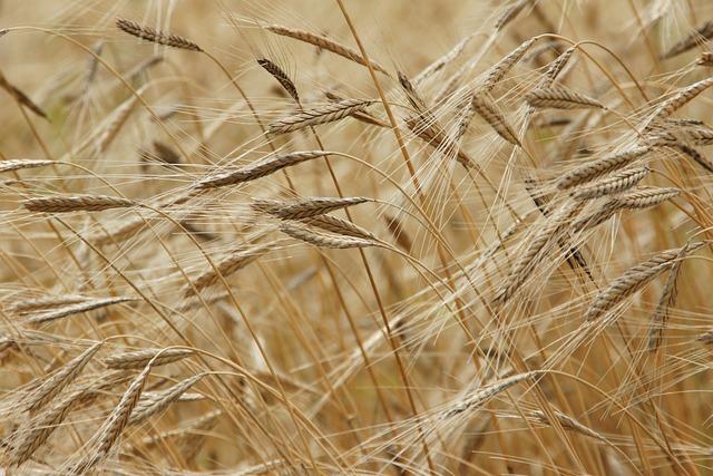 Einkorn, Grain, Field, Einkorn Wheat, Nature, Food