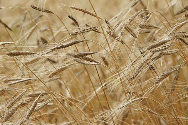 Einkorn, Grain, Field, Einkorn Wheat, Nature, Food