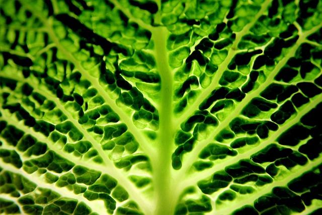 Savoy, Vegetables, Green, Healthy, Vitamins, Eat, Food