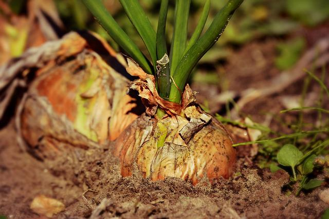 Onion, Vegetable, Plant, Food, Nutrition, Soil, Growth