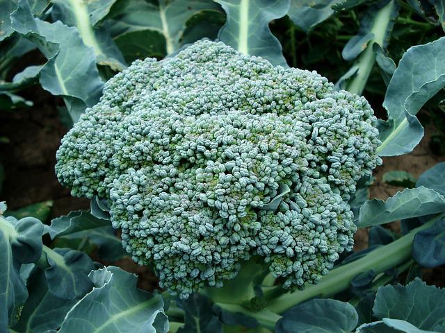 Broccoli, Plant, Green, Food, Organic, Natural