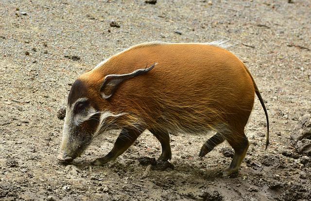 Brush Ear Pig, Search, Food, Livestock, Happy