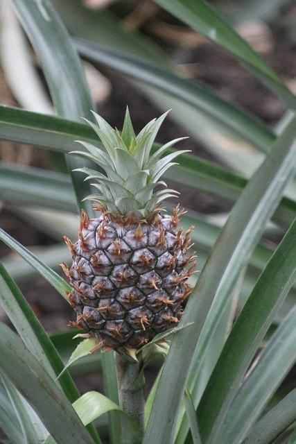 Pineapple, Plant, Nature, Leaf, Fruit, Tropical, Food