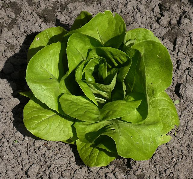 Lettuce, Young Plant, Sheet, Plant, Vegetable, Food