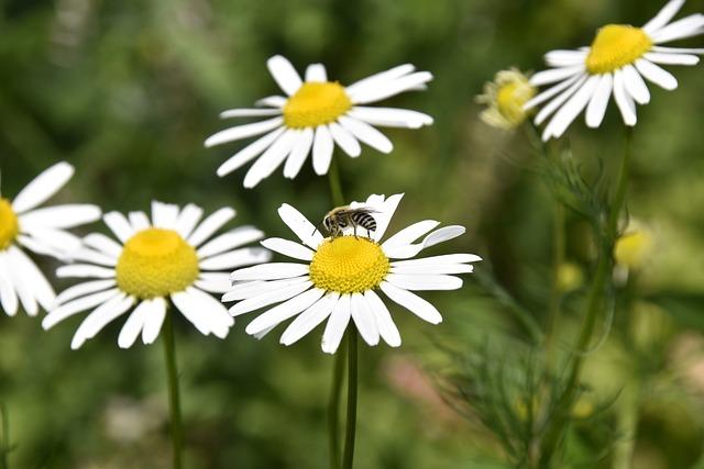 Flower, Flowers Daisies, Petals, Bee, Forage