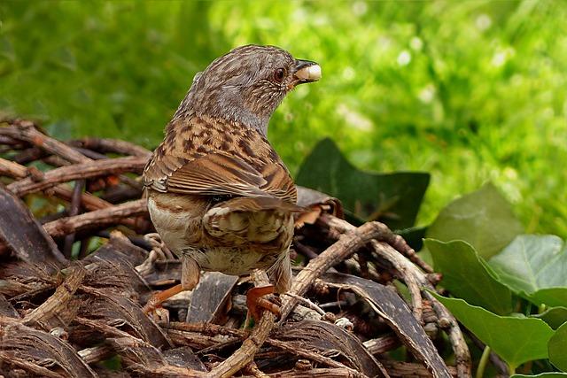 Animal, Bird, Dunnock, Prunella Modularis, Foraging