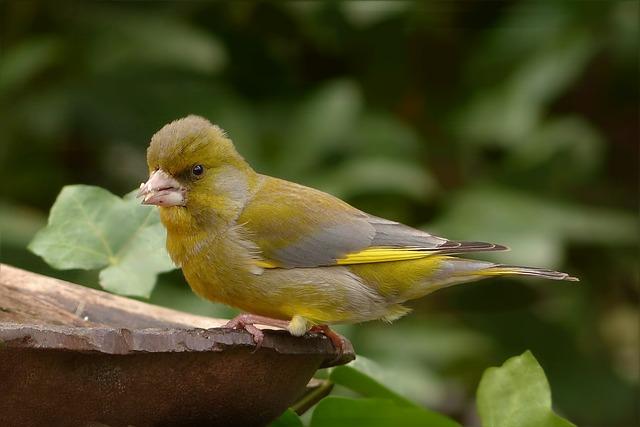 Bird, Greenfinch, Close, Garden, Foraging