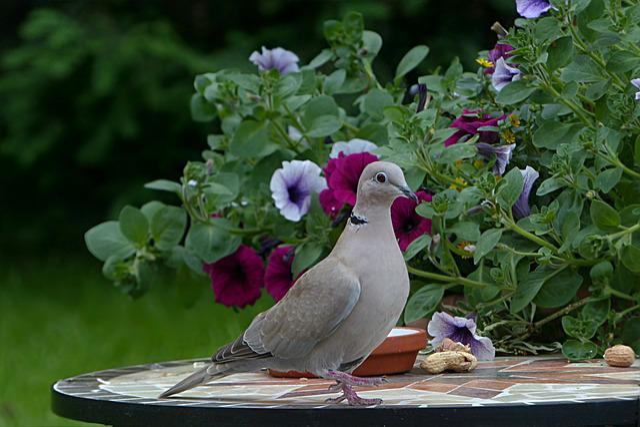 Bird, Dove, Collared, Streptopelia Decaocto, Foraging