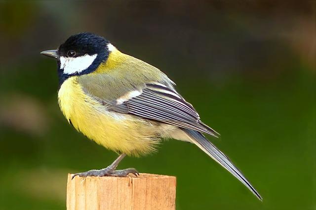 Animal, Bird, Tit, Parus Major, Foraging, Garden