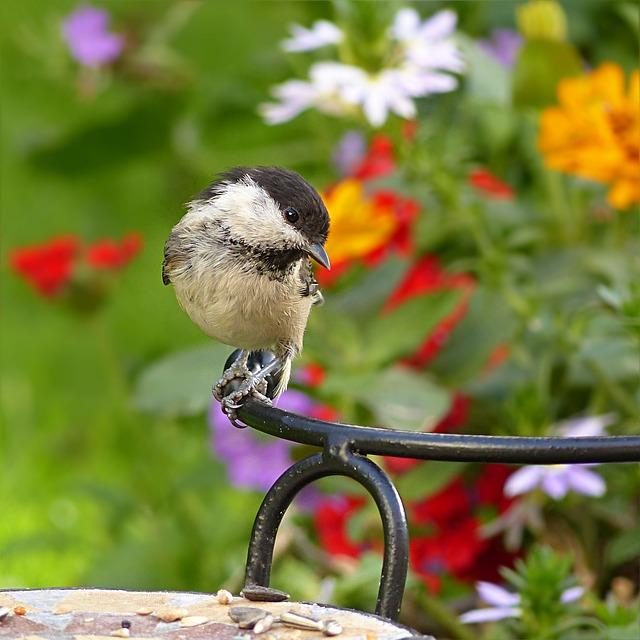 Marsh Tit, Parus Palustris, Tit, Bird, Foraging, Garden