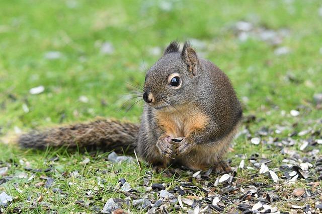 Douglas Squirrel, Squirrel, Rodent, Foraging, Wildlife
