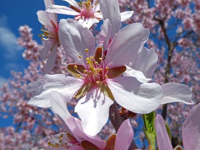 Almond Flower, Foreground, Almond Tree, Florir