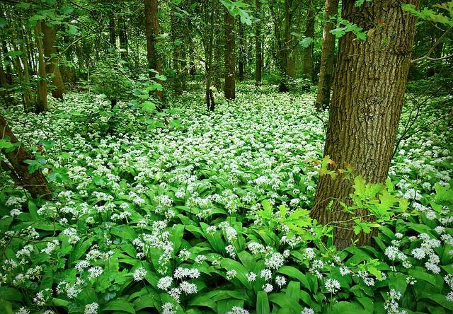 Wild Garlic, Onion, Allium, Plant, Bloom, Forest, Herb