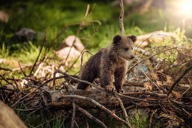 Bear, Nature, Animals, Baby, Brown Bear, Wild, Forest