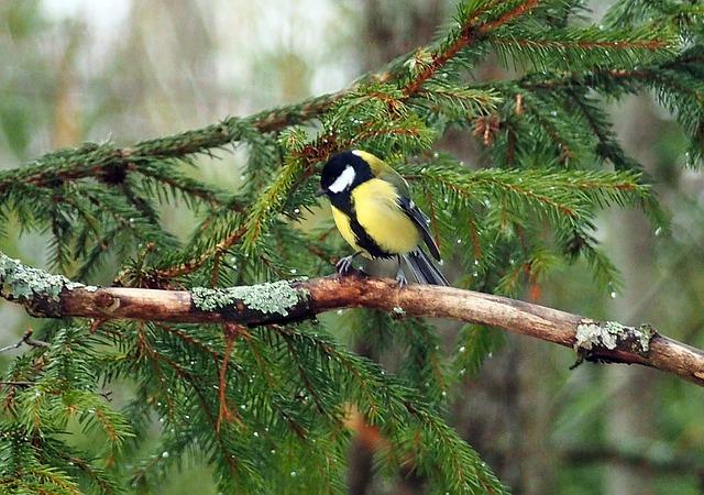 Bird, Great Tit, Yellow, Winter, Forest, Sweden