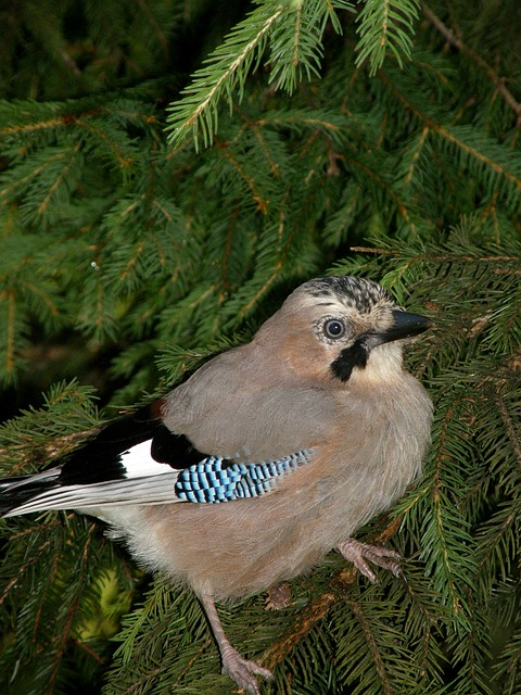 Jay, Bird, Nature, Forest