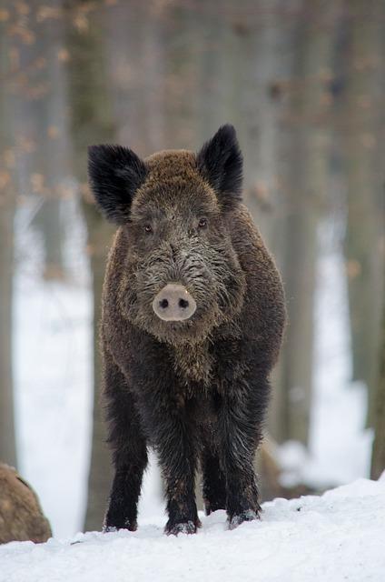 Boar, Animal, Forest, Mammal, Omnivore, Hunter