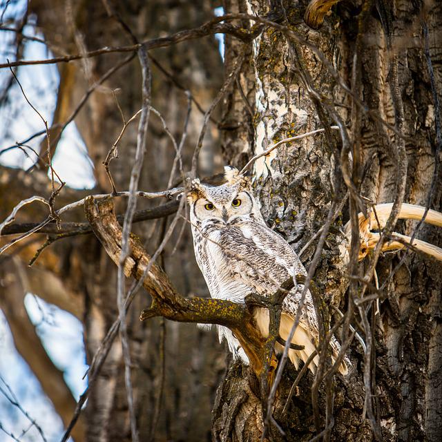 Avian, Owl, Camouflage, Forest, Great Horned Owl