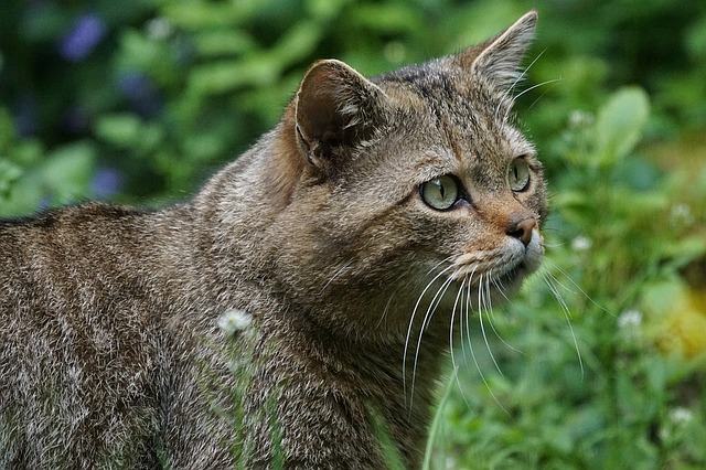 Wildcat, Forest Cat, Predator, Protected, Mammal