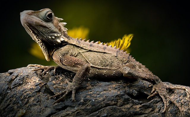 Lizard, Reptile, Forest Dragon, Nature, Types Of Die