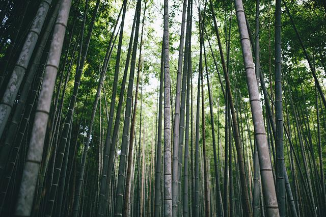 Bamboo, Branch, Daylight, Environment, Forest, Growth