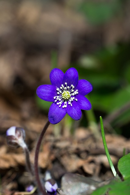 Flower, Blue, Forest, Plant, Spring, Hepatica