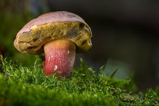 Beautiful Foot Boletus, Mushroom, Forest Mushroom