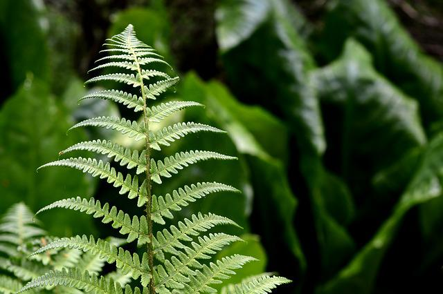 Fern, Plant, Nature, Green, Forest, Fern Plant, Leaf