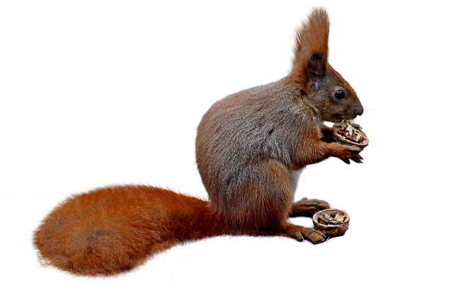 Squirrel, Isolated, Nature, Forest, Nager, Rodent