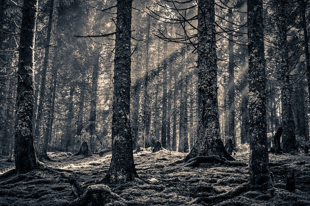 Forest, Pine Forest, Pine, Black And White, Nature
