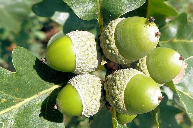 Acorns, Oak Leaves, Oak, Nature, Forest, Tree Fruit