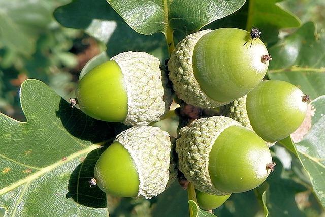 Acorns, Oak Leaves, Oak, Nature, Forest, Tree Fruit
