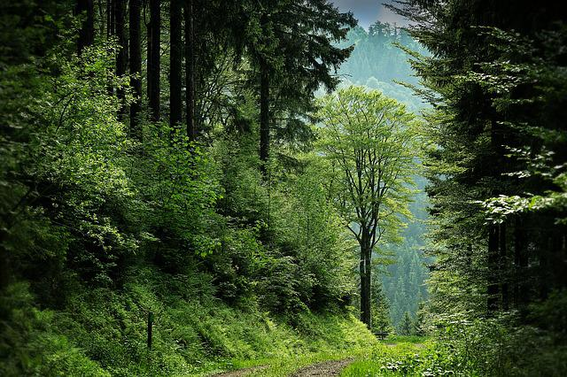 Black Forest, Clearing, Forest, Path, Trees, Woods