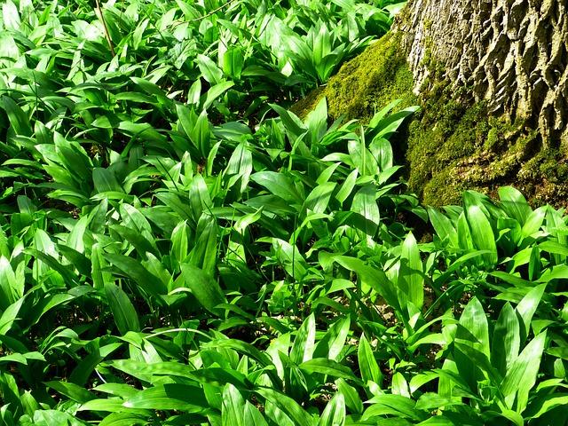 Bear's Garlic, Forest, Plant, Allium Ursinum