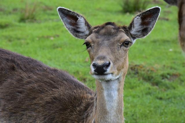 Roe Deer, Wild, Deer Park, Wildlife Park, Forest