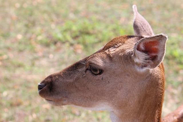 Roe Deer, Fallow Deer, Nature, Forest
