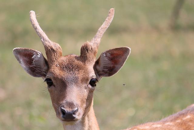Roe Deer, Fallow Deer, Nature, Antler, Forest