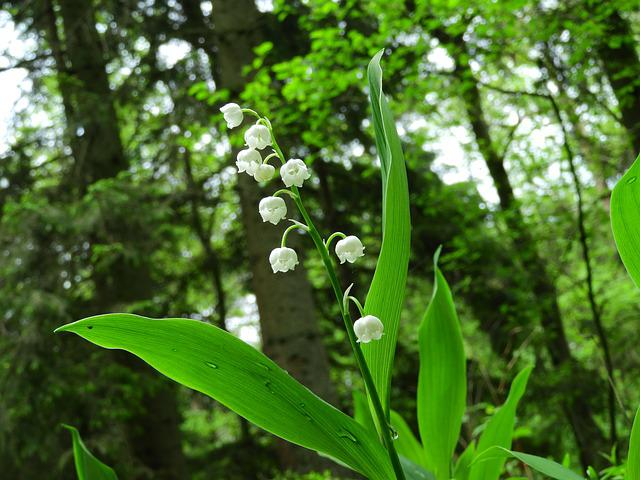 Lily Of The Valley, Forest, Drop Of Water, Spring