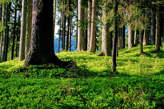 Forest, Forest Floor, Trees, Sun Exposure