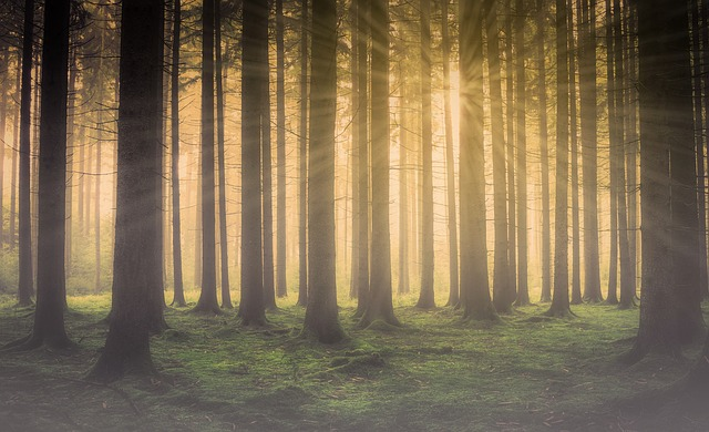 Forest, Forest In The Mist, Sun In The Forest, Sun Rays