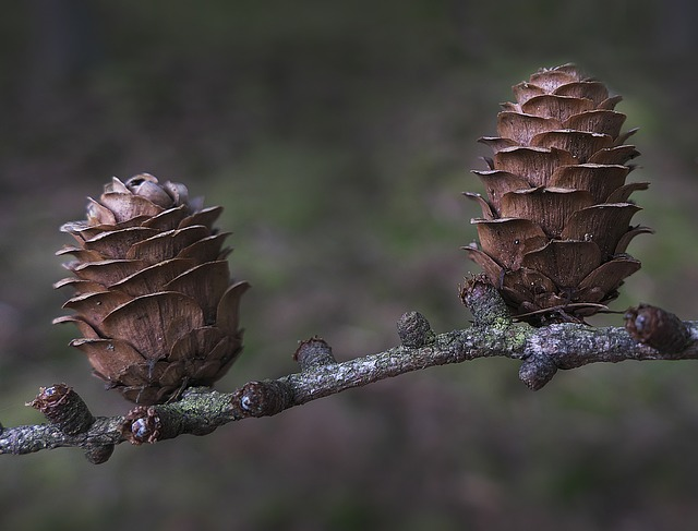 Tap, Larch, Larch Cones, Pine Greenhouse, Forest