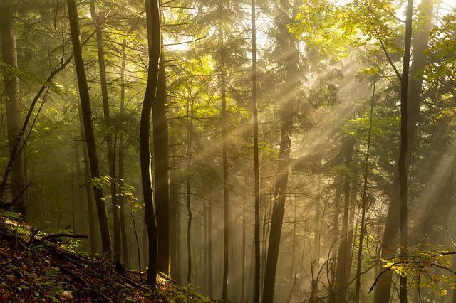 Forest, The Rays, Morning Sun, The Sun's Rays, Mood